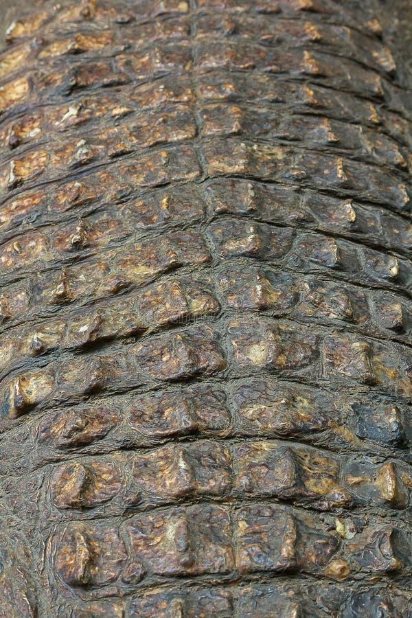 La pelle del coccodrillo ? forte, fotografie stock