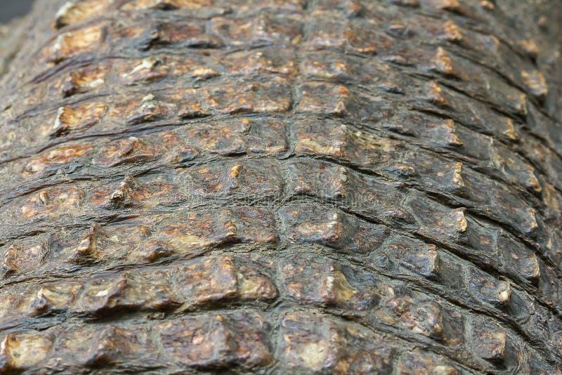 La pelle del coccodrillo ? forte, fotografia stock