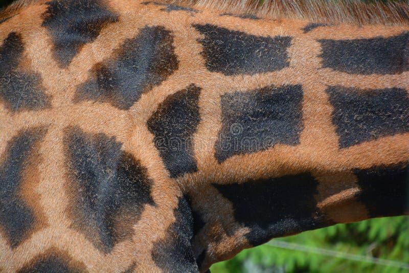 La pelle della giraffa fotografia stock