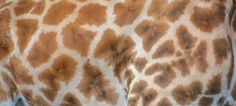 La pelle della giraffa immagine stock