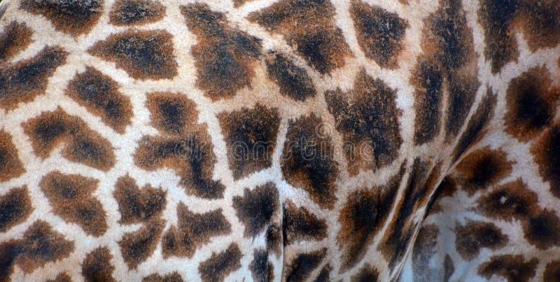 La pelle della giraffa immagini stock libere da diritti