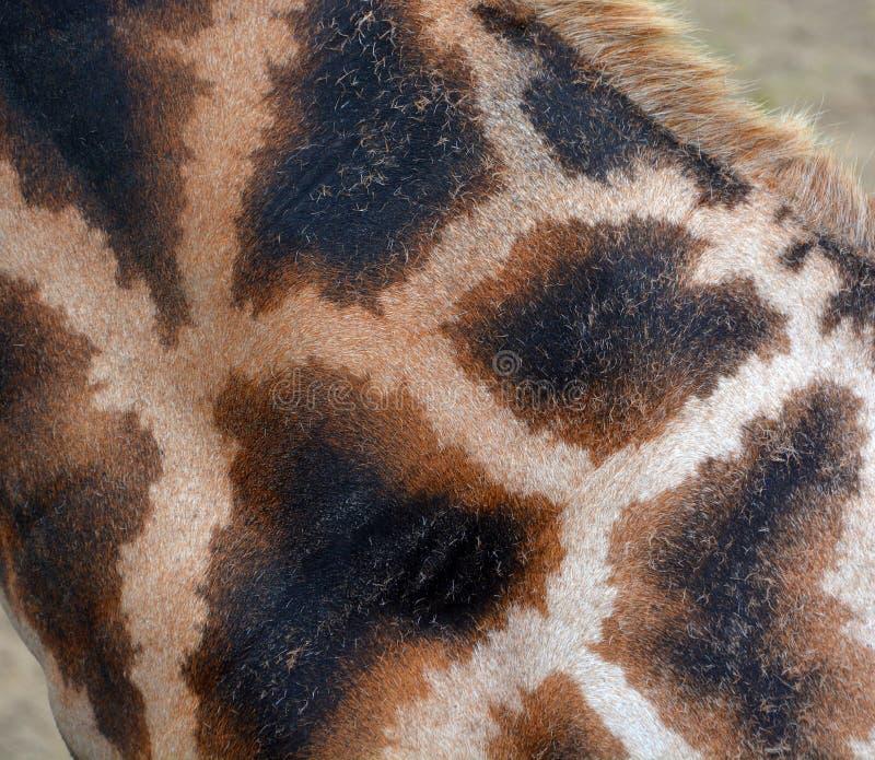 La pelle della giraffa immagine stock libera da diritti