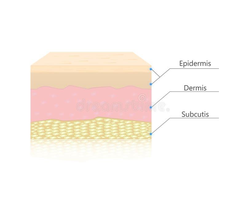 La pelle mette a strati il vettore illustrazione vettoriale