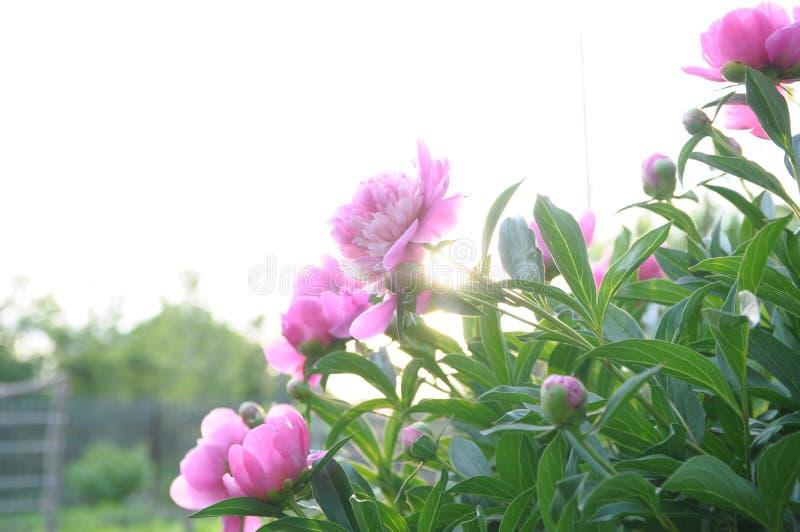 La peonía rosada florece en la puesta del sol, jardín del verano imagen de archivo