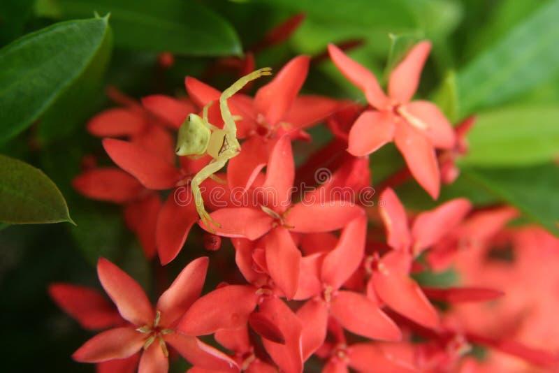 La pequeña araña amarilla imagen de archivo