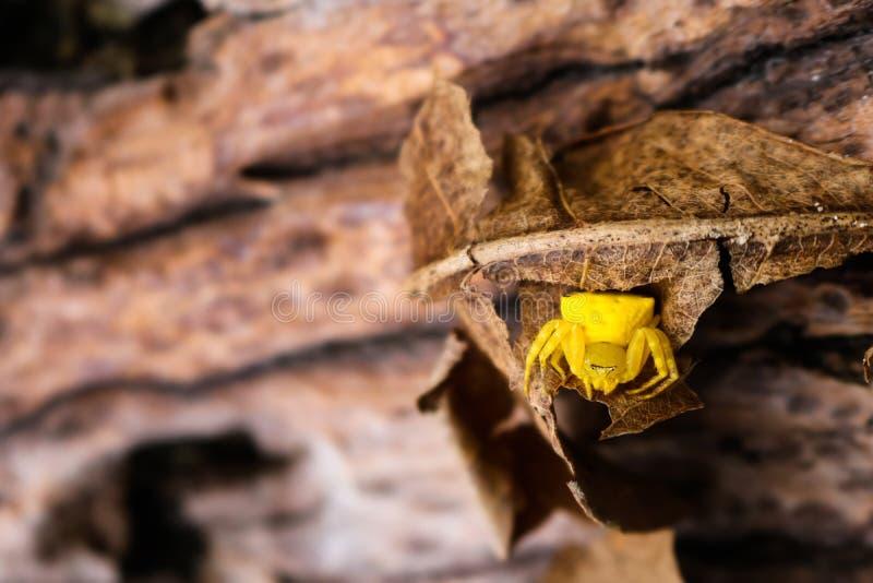 La pequeña araña amarilla, cazador de la mariposa fotos de archivo