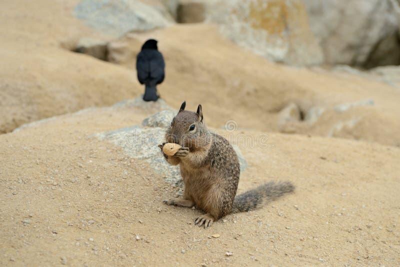 La pequeña ardilla linda roe una nuez cerca del pájaro imágenes de archivo libres de regalías