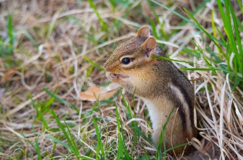 La pequeña ardilla listada más linda (Tamias) nunca, hace estallar hacia fuera y se sienta encima de su madriguera en la tierra foto de archivo libre de regalías