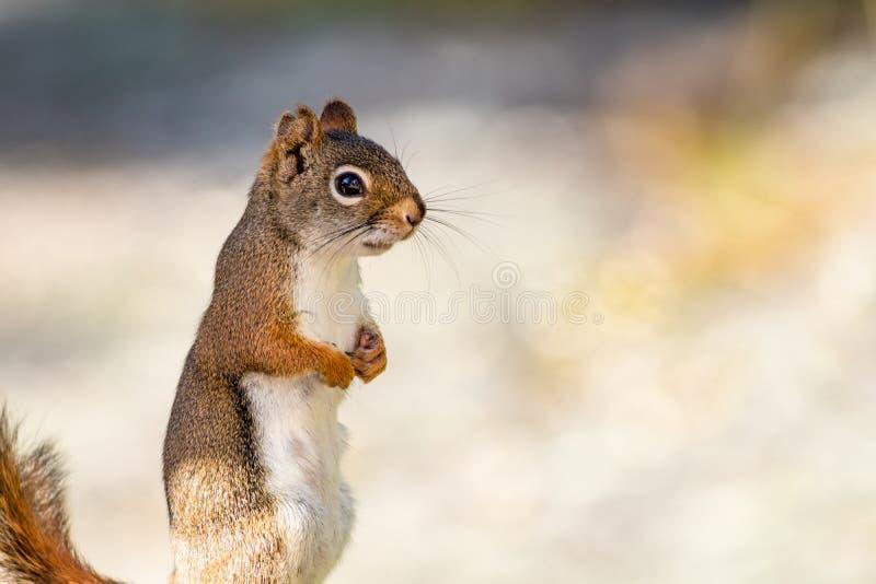 La pequeña ardilla roja adorable se une con las manos fotografía de archivo libre de regalías