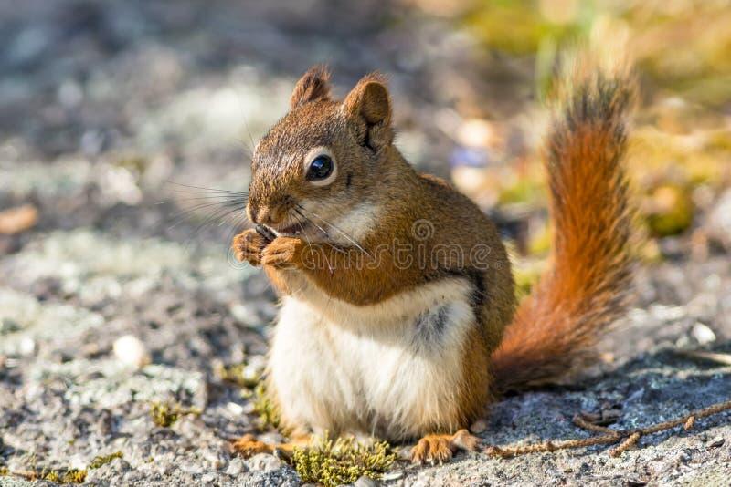 La pequeña ardilla roja goza de un bocado en rocas cubiertas de musgo imagen de archivo libre de regalías