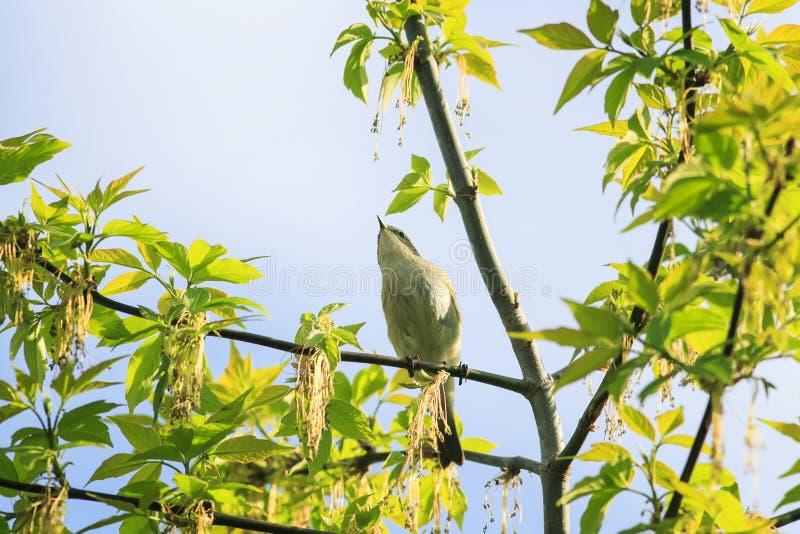 La pequeña curruca del pájaro cantante que se sienta en las ramas de un árbol de arce con follaje verde fresco en puede jardín so imagen de archivo libre de regalías