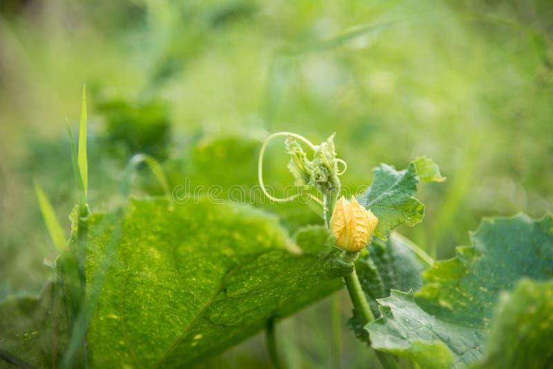 La pequeña flor de la calabaza imagenes de archivo
