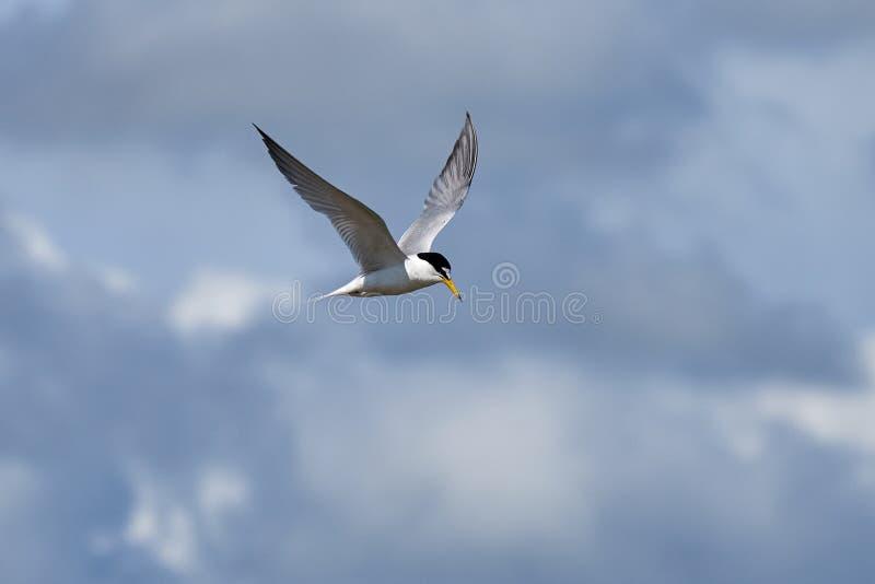 La pequeña golondrina de mar voló libremente en el cielo azul imagenes de archivo