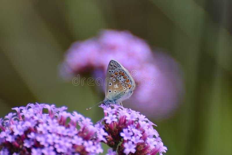 La pequeña mariposa azul minúscula, platea el azul tachonado, Plebejus argus, en la verbena púrpura fotografía de archivo