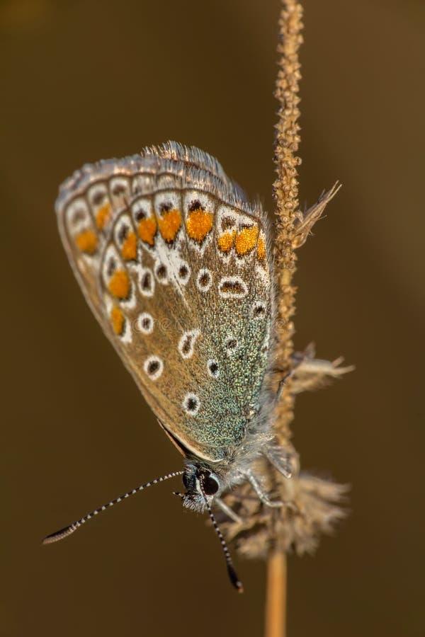 La pequeña mariposa azul plata-tachonada se sienta en el tronco, plebejus argus foto de archivo