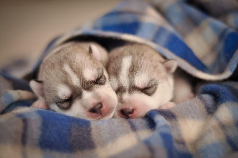 La pequeña O.N.U recién nacida del husky siberiano de los perritos gris criado en línea pura y blanco foto de archivo