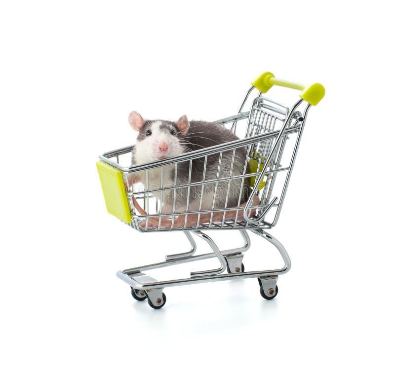 La pequeña rata gris se sienta en una carretilla miniatura de las compras fotografía de archivo libre de regalías