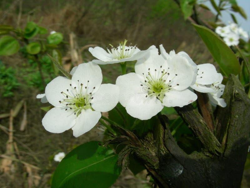 La pera florece la abertura en primavera imagenes de archivo