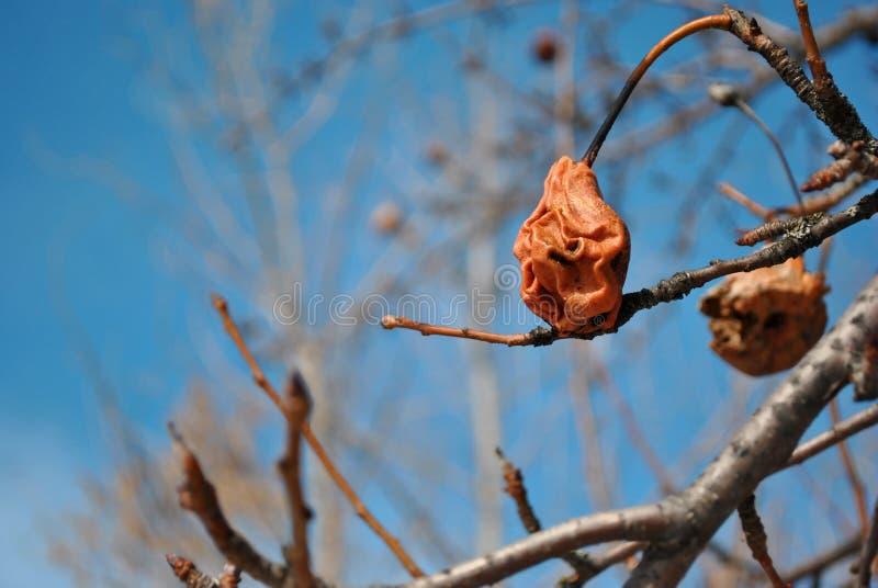 La pera roja seca putrefacta del año pasado en árbol, se cierra encima del detalle, de las ramitas grises borrosas suaves y del f imágenes de archivo libres de regalías