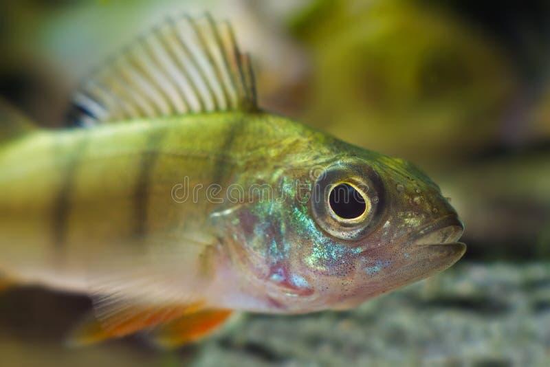 La perca esamina con attenzione la macchina fotografica, nuotata in acquario del biotopo del fiume del coldwater della natura, pe fotografie stock
