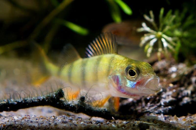 La perca europea abre de par en par su boca en el acuario del biotopo del río del coldwater de la naturaleza, pescado despredador foto de archivo
