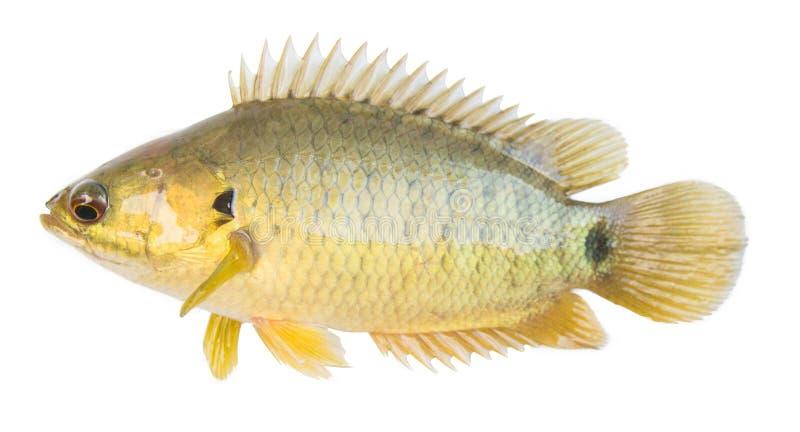 La perca que sube o el Osphromemus gorami que sube, pescado del oro, fondo blanco aislado imagen de archivo