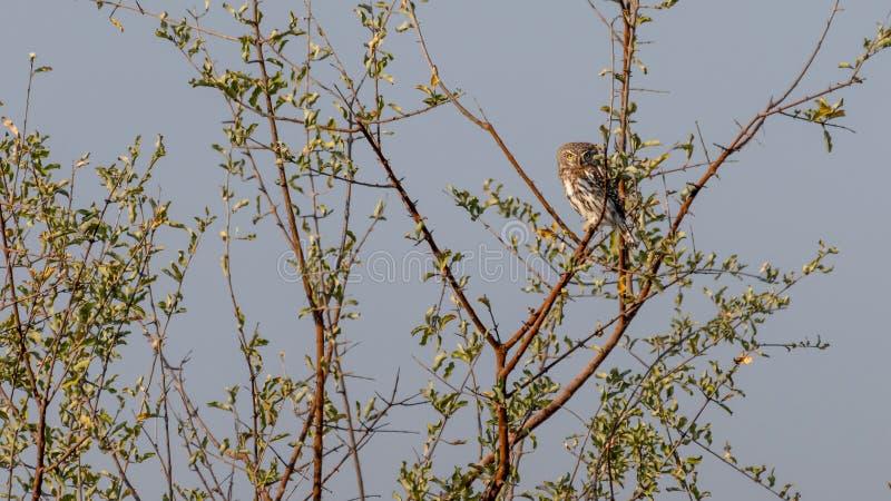 la perle a repéré le jeune hibou dans un arbre au Botswana en Afrique image libre de droits