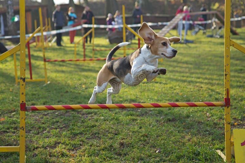 La perra del beagle está saltando fotos de archivo libres de regalías