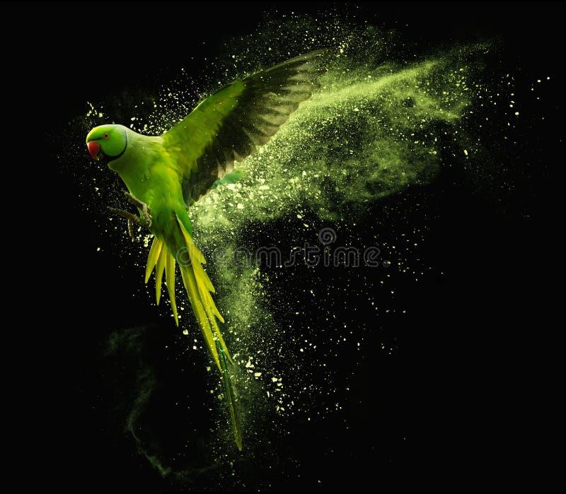 La perruche alexandrine de perroquet de vol avec la poudre colorée opacifie Sur le fond noir image libre de droits