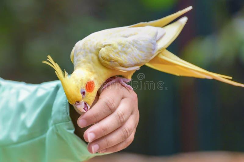La perruche est un perroquet long-coupé la queue, avec les plumes jaunes se repose sur la main de la fille L'humain communique av photo libre de droits