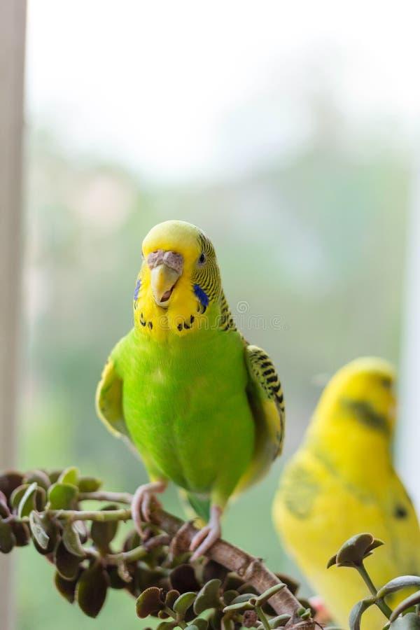 La perruche se repose sur une branche Le perroquet est brillamment de couleur citron Le perroquet d'oiseau est un animal familier image stock