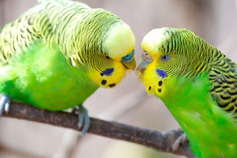 La perruche se repose sur une branche Le perroquet est brillamment de couleur verte Le perroquet d'oiseau est un animal familier  images libres de droits