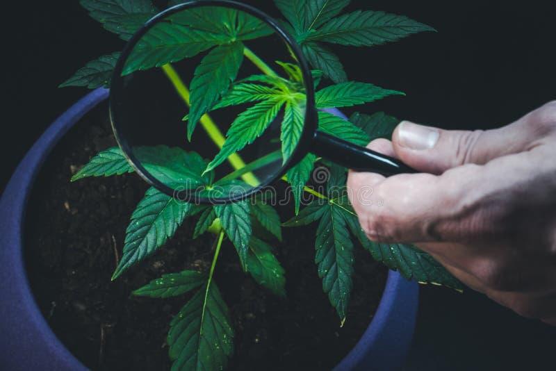 La persona esamina la pianta di marijuana medica con la lente Pianta della cannabis che cresce dell'interno immagini stock libere da diritti