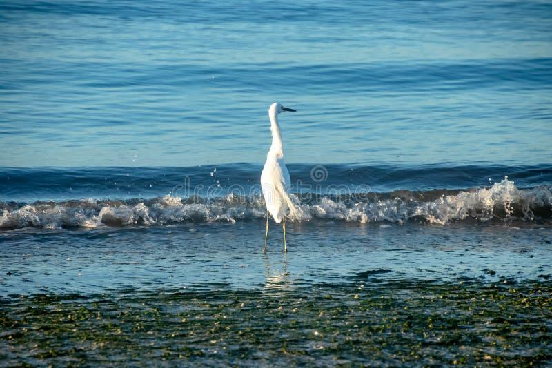 La pesca dell'airone bianco maggiore nel golfo del Messico come onde schianta il ashor immagini stock