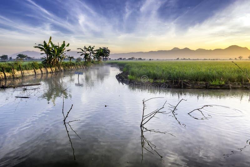 La peschiera ha seguito giacimento molto vasto, vasto, dall'esteso, spazioso del riso fotografia stock