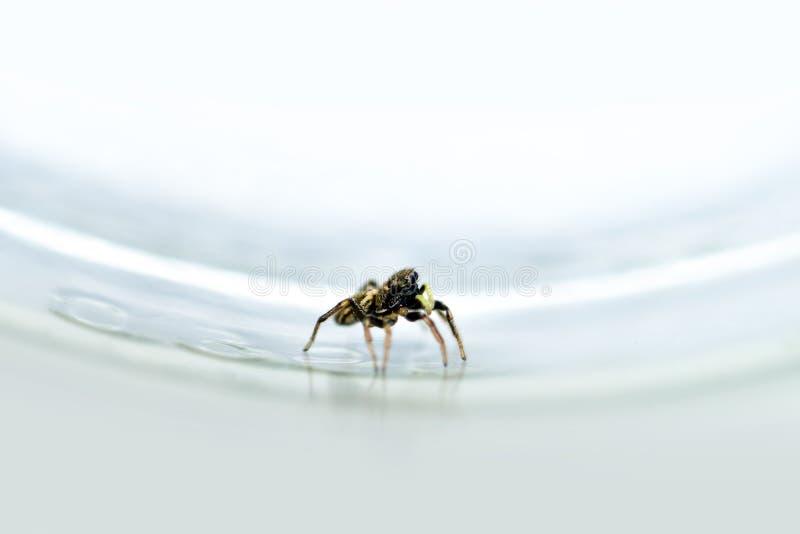 La petite araignée sautante s'est élevée dans le verre photographie stock libre de droits