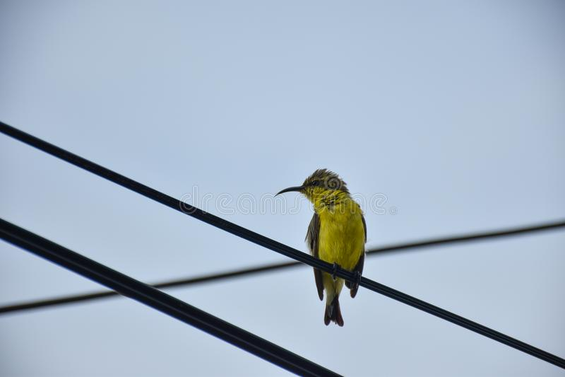 La petite fauvette jaune est sur la ligne électrique photographie stock