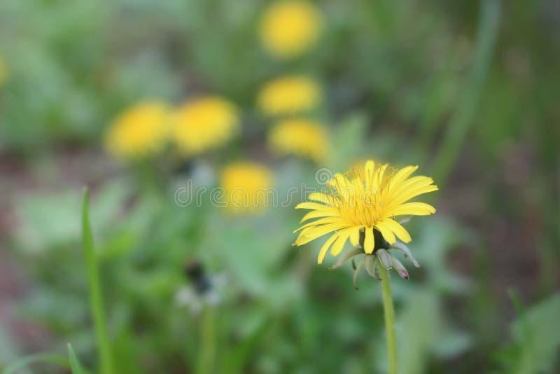 La petite fleur jaune inconnue photo stock