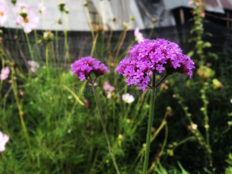La petite fleur violette de verveine fleurit par le groupe sur la tige photos stock