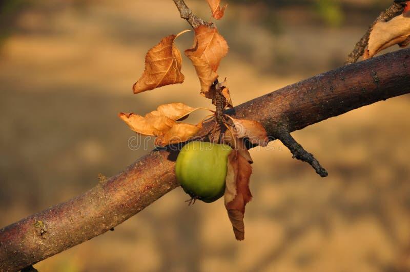 La petite pomme non mûre verte accroche sur la branche d'arbre avec les feuilles brunes sèches dans la lumière d'or de coucher du image libre de droits