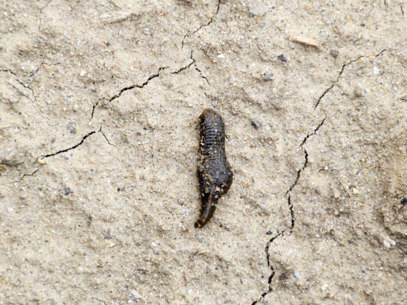la petite sangsue rampe au-dessus du sol nu à la recherche de l'humidité images stock
