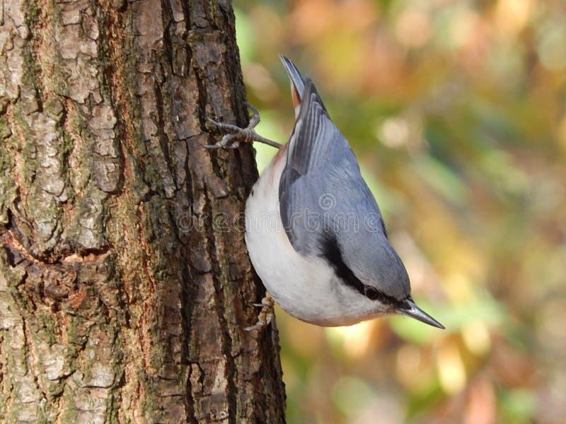 la petite sittelle sauvage d'oiseau était perché sur le tronc d'arbre photos stock