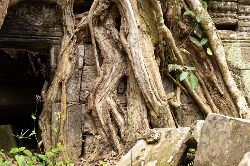 La petite tête de Bouddha entourée par l'arbre s'enracine au temple de Prohm de ventres photo stock