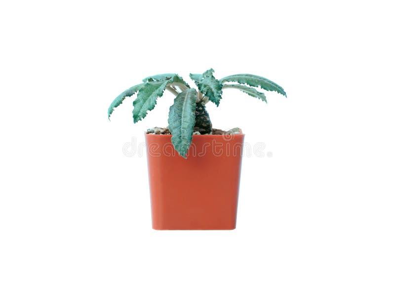 La petite usine en pot, succulents ou cactus d'isolement sur le fond blanc, chemin de coupure a inclus images libres de droits