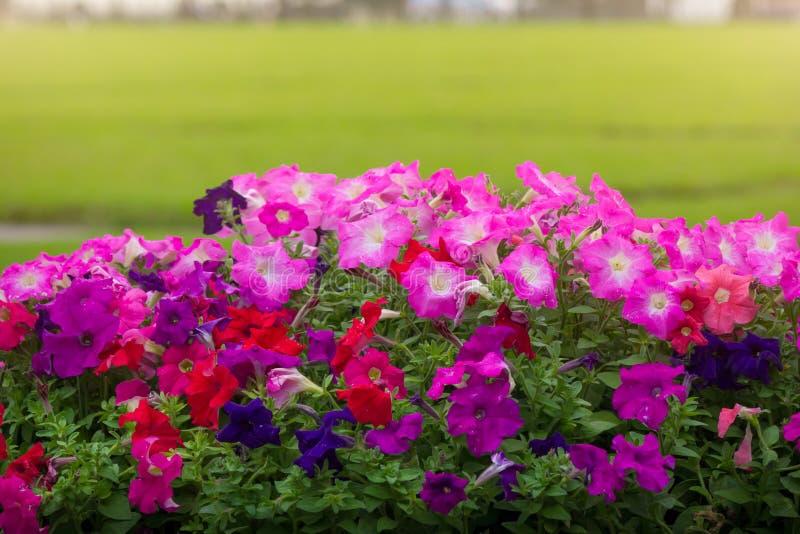 La petunia colorida hermosa florece con el fondo del campo de hierba foto de archivo libre de regalías