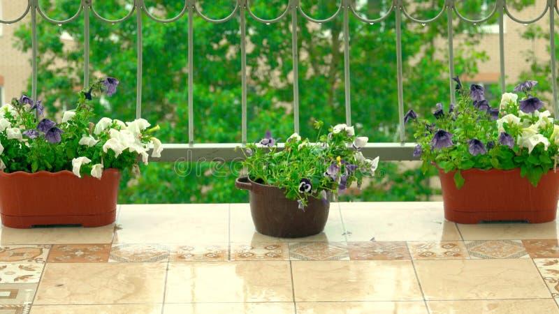 La petunia conservata in vaso fiorisce sul terrazzo aperto nella pioggia dell'estate immagine stock libera da diritti