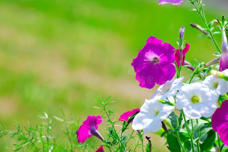 La petunia fiorisce al sole immagine stock libera da diritti