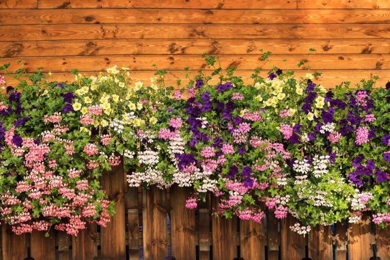 La petunia florece y el flor del Pelargonium está floreciendo Floración púrpura, rosada, blanca, amarilla imagenes de archivo