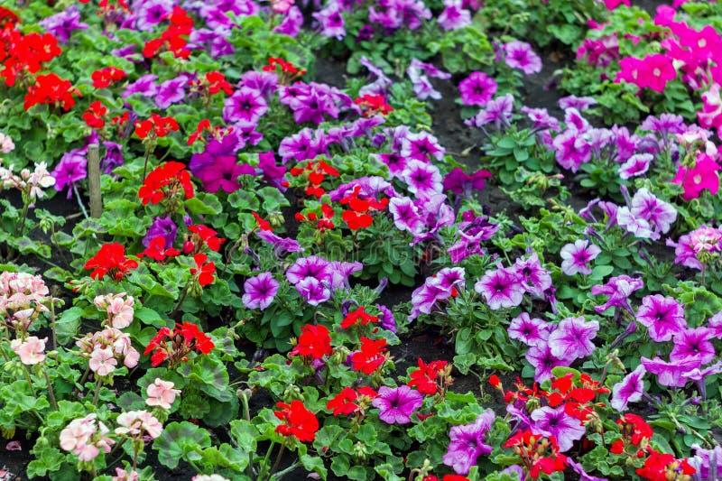 La petunia popular de la flor es plantas de florecimiento del origen suramericano foto de archivo libre de regalías