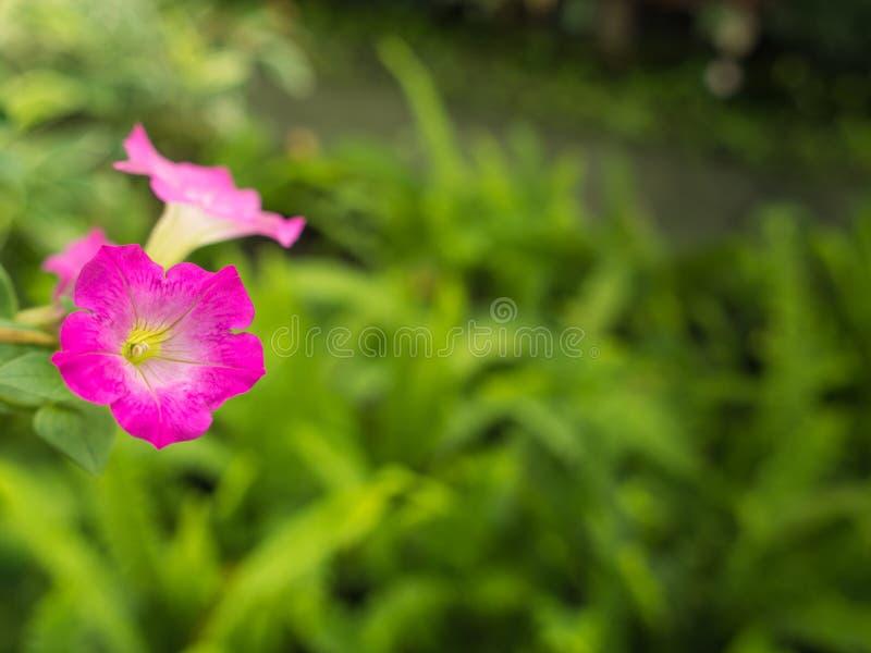 La petunia rosada florece la ejecución fotos de archivo libres de regalías